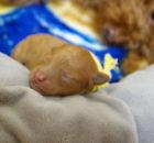 トイプードル 出産・子育て