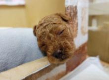 癒し系 子犬 トイプードル