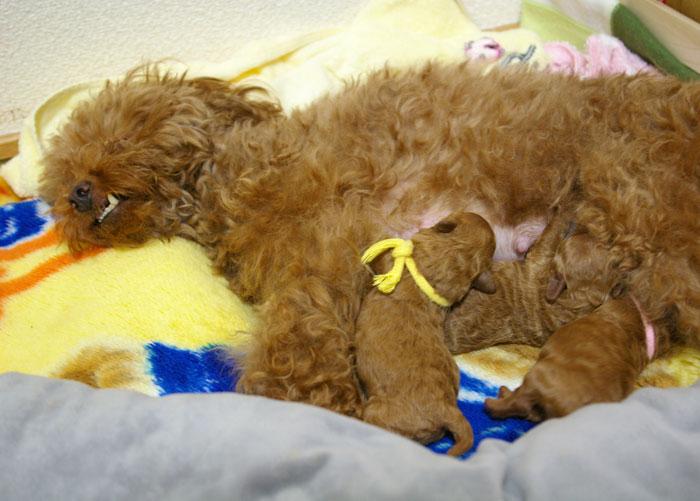 母犬出産・子育て