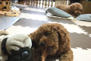 トイプードル子犬 初めてのおやつ