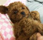 トイプードル子犬 生後60日