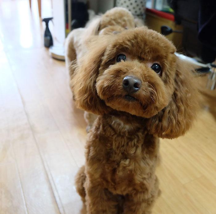 トイプードル 犬アクセサリー作り方レシピ